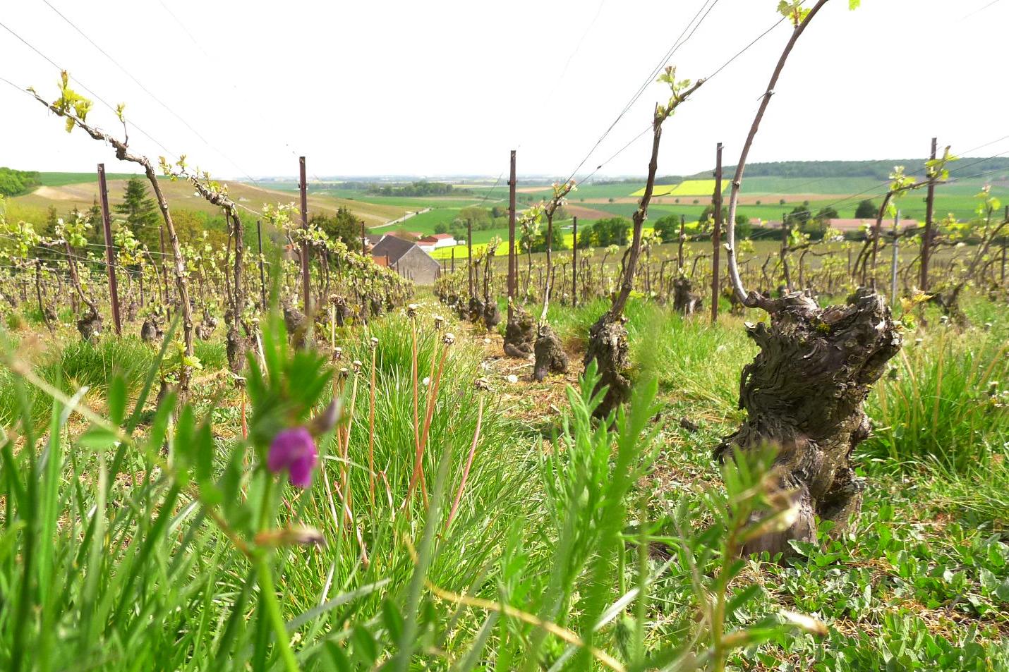 Champagne Thuillier & Filles : La vigne en ADN
