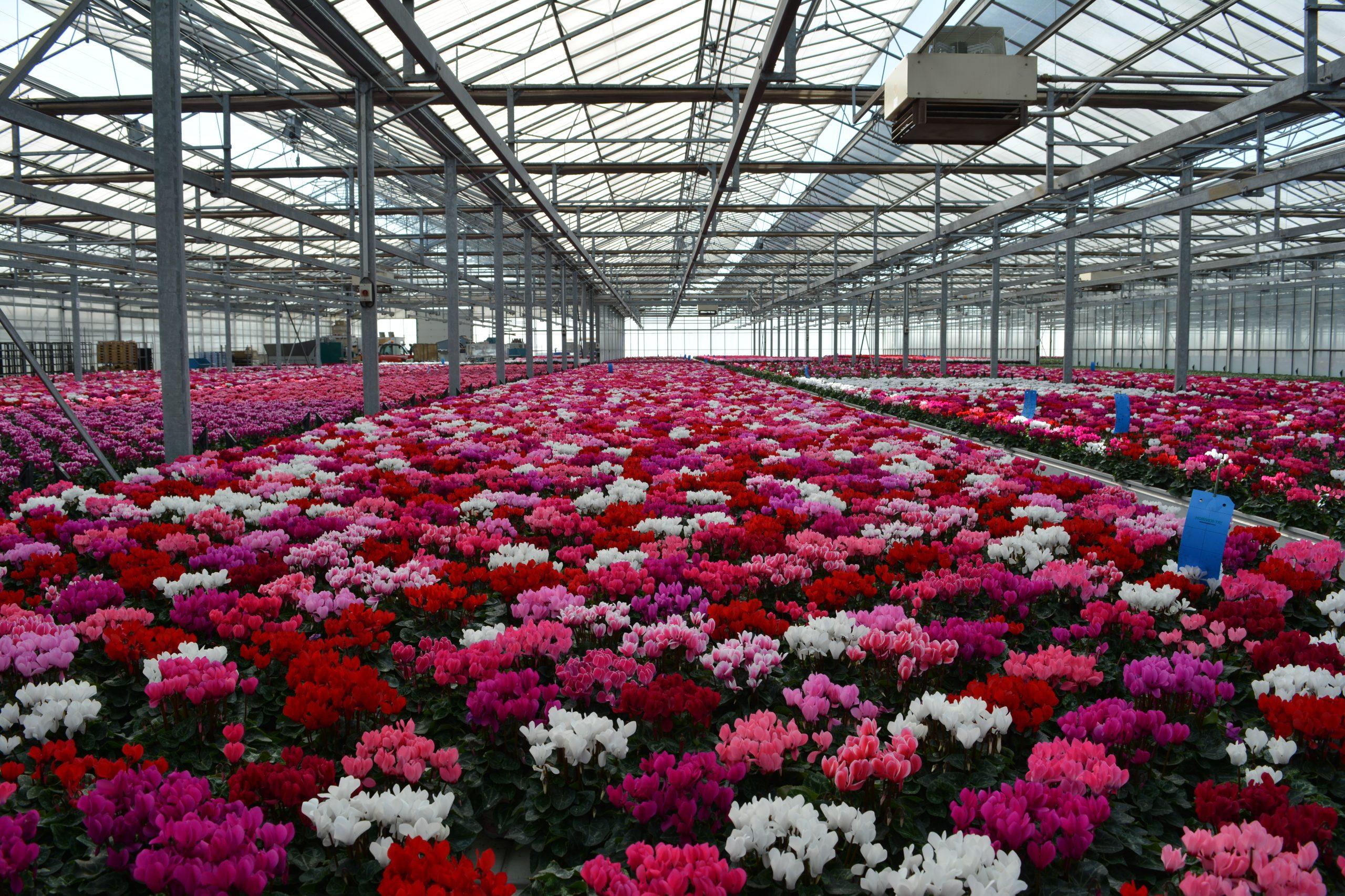 Benoist Horticulture : les plus beaux géraniums pour votre jardin